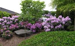 largeclick_Rhododendron_efeu_127.jpg